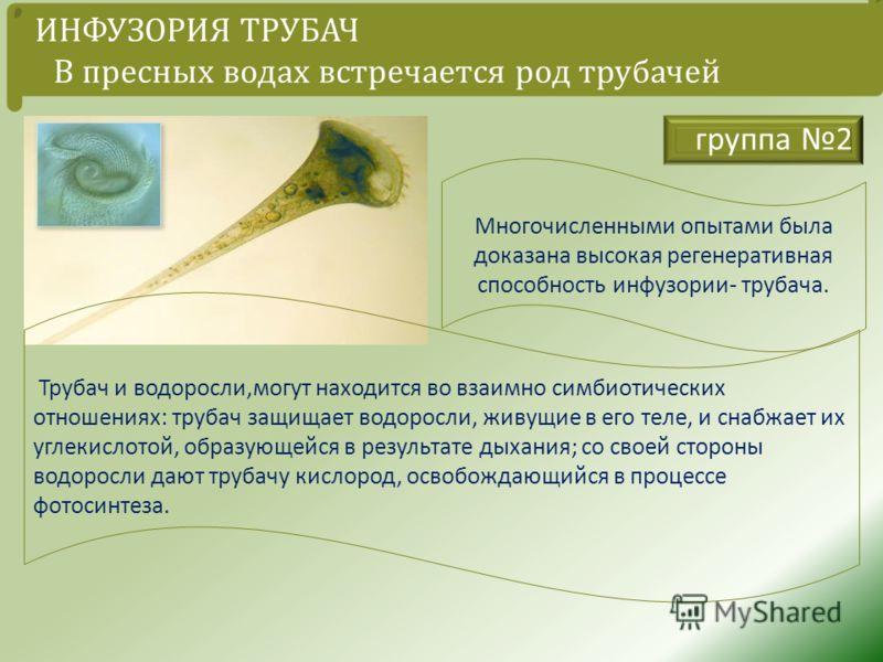 Многочисленными опытами была доказана высокая регенеративная способность инфузории - трубача. группа 2 ИНФУЗОРИЯ ТРУБАЧ В пресных водах встречается род трубачей Трубач и водоросли, могут находится во взаимно симбиотических отношениях : трубач защищае
