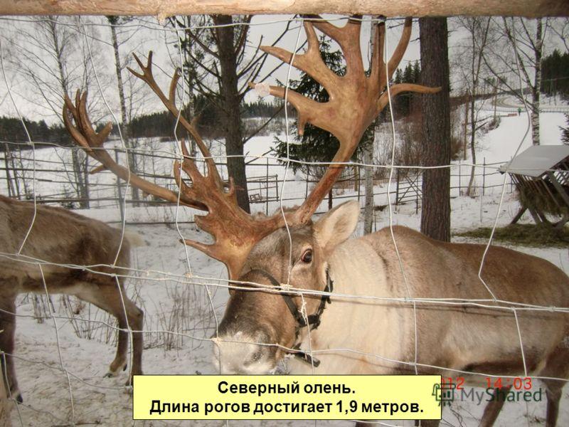 Северный олень. Длина рогов достигает 1,9 метров.