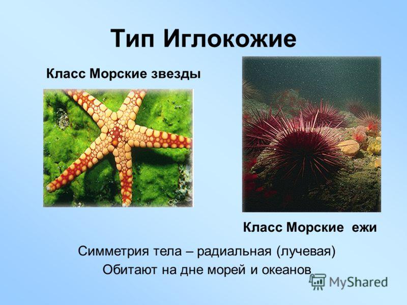 Тип Иглокожие Класс Морские звезды Класс Морские ежи Симметрия тела – радиальная (лучевая) Обитают на дне морей и океанов