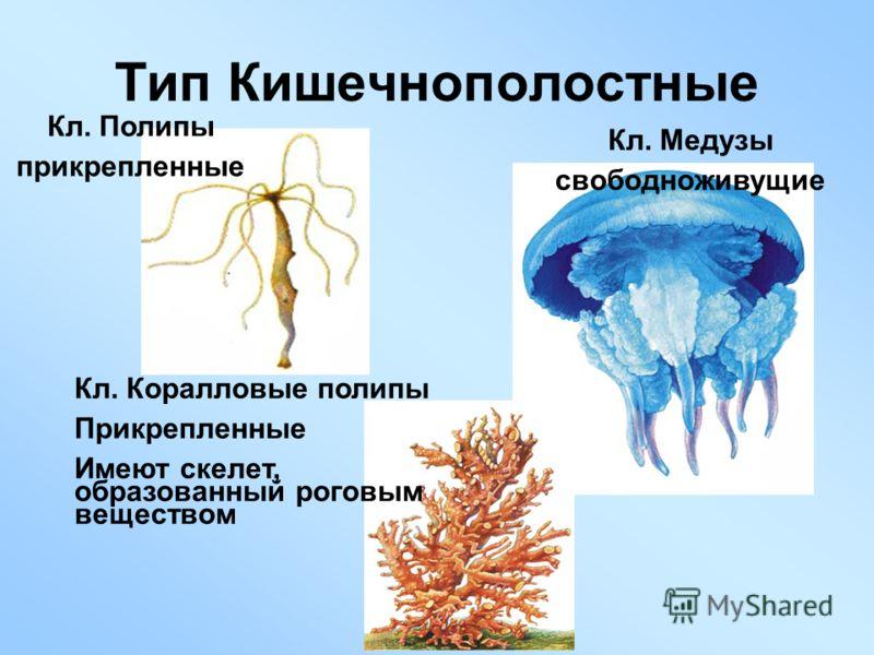 Тип Кишечнополостные Кл. Медузы свободноживущие Кл. Полипы прикрепленные Кл. Коралловые полипы Прикрепленные Имеют скелет, образованный роговым веществом