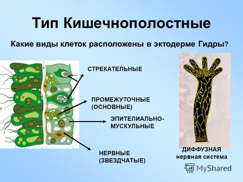Тип Кишечнополостные Какие виды клеток расположены в эктодерме Гидры ? СТРЕКАТЕЛЬНЫЕ ПРОМЕЖУТОЧНЫЕ (ОСНОВНЫЕ) ЭПИТЕЛИАЛЬНО- МУСКУЛЬНЫЕ НЕРВНЫЕ (ЗВЕЗДЧАТЫЕ) ДИФФУЗНАЯ нервная система
