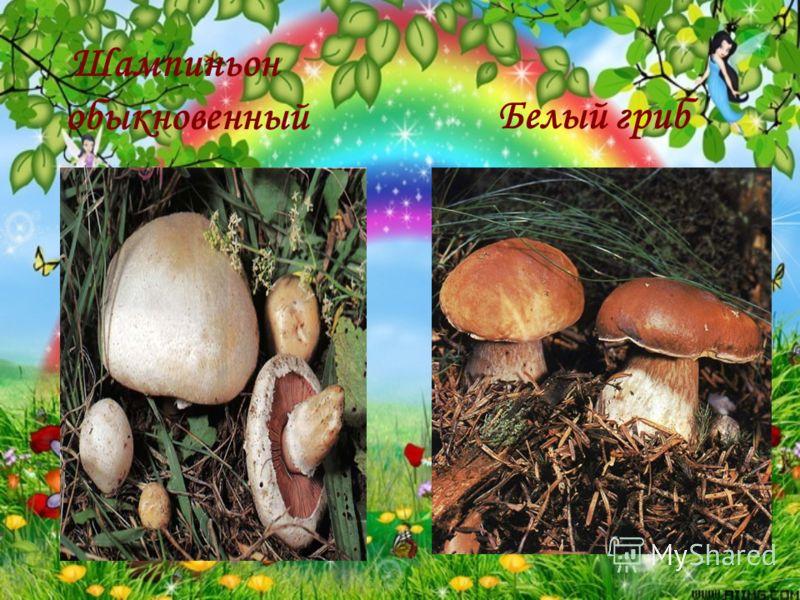Шампиньон обыкновенный Белый гриб