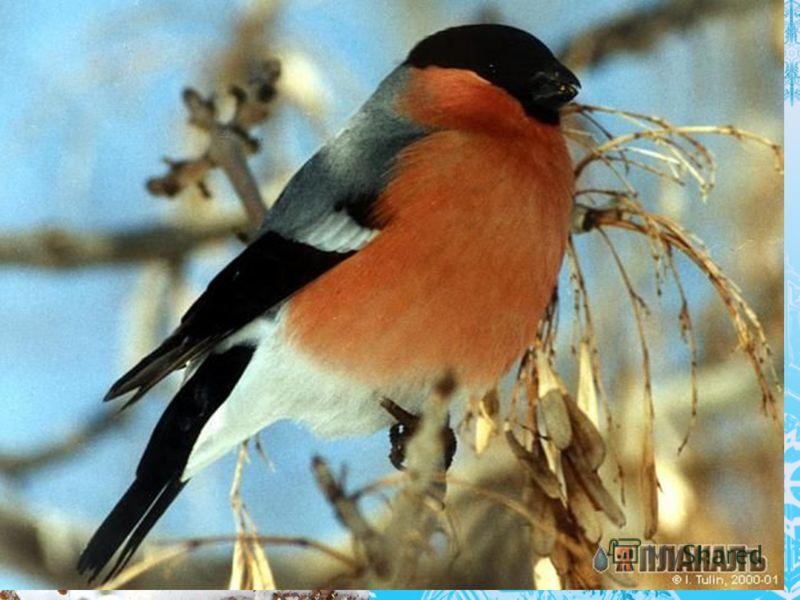 Красногрудый, чернокрылый Любит зёрнышки клевать, С первым снегом на рябине Он появится опять. Красногрудый, чернокрылый Любит зёрнышки клевать, С первым снегом на рябине Он появится опять.