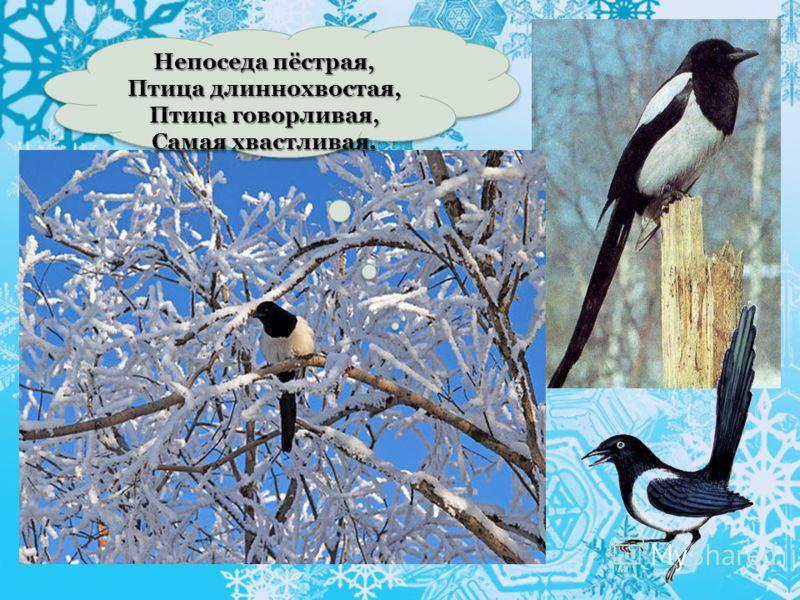 Непоседа пёстрая, Птица длиннохвостая, Птица говорливая, Самая хвастливая. Непоседа пёстрая, Птица длиннохвостая, Птица говорливая, Самая хвастливая.