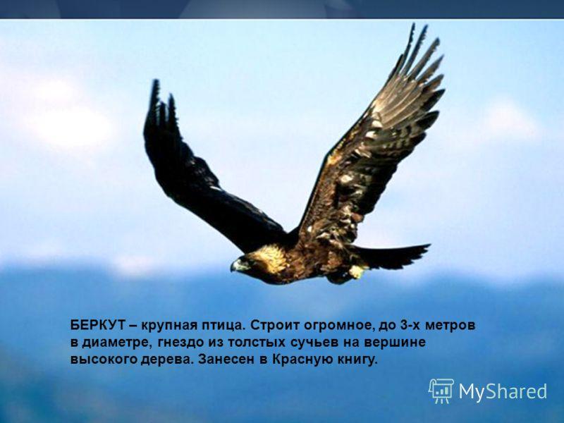 БЕРКУТ – крупная птица. Строит огромное, до 3-х метров в диаметре, гнездо из толстых сучьев на вершине высокого дерева. Занесен в Красную книгу.