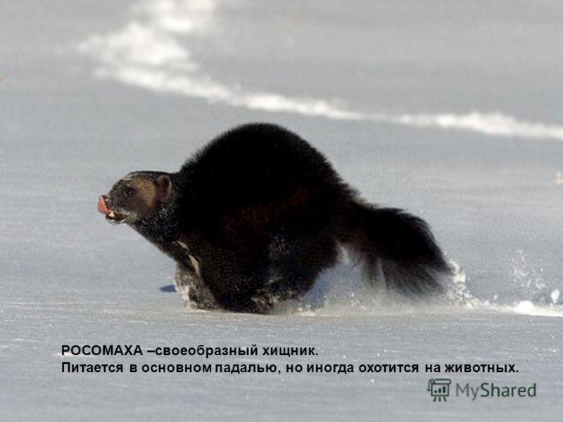 РОСОМАХА –своеобразный хищник. Питается в основном падалью, но иногда охотится на животных.
