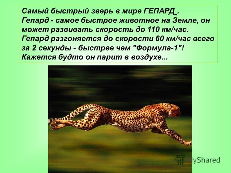 Самый быстрый зверь в мире ГЕПАРД. Гепард - самое быстрое животное на Земле, он может развивать скорость до 110 км/час. Гепард разгоняется до скорости 60 км/час всего за 2 секунды - быстрее чем Формула-1! Кажется будто он парит в воздухе...