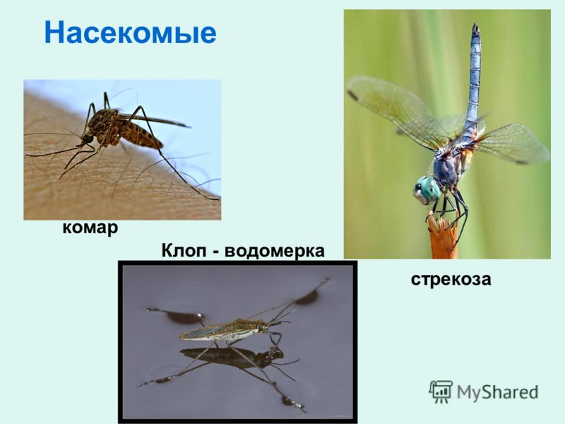 Клоп - водомерка стрекоза Насекомые комар