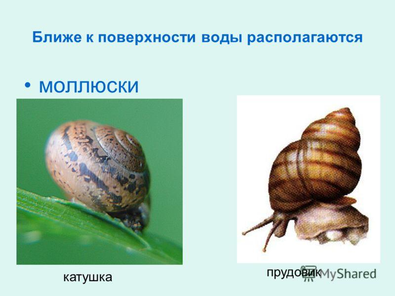Ближе к поверхности воды располагаются моллюски катушка прудовик