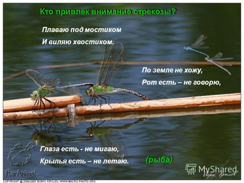 Кто привлек внимание стрекозы? Плаваю под мостиком И виляю хвостиком. По земле не хожу, Рот есть – не говорю, Глаза есть - не мигаю, Крылья есть – не летаю. (рыба)