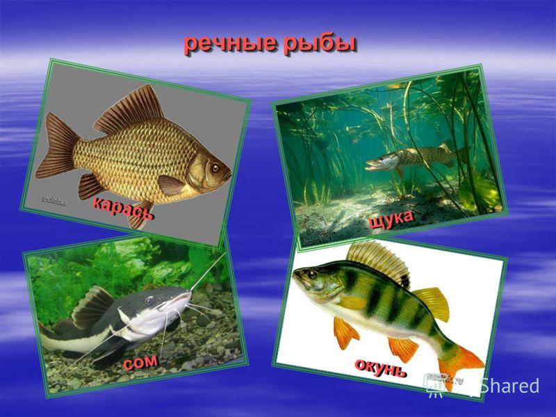 речные рыбы карась щука сом окунь