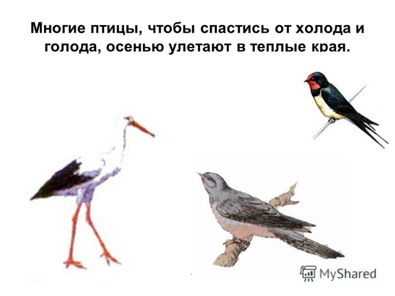 Многие птицы, чтобы спастись от холода и голода, осенью улетают в теплые края.