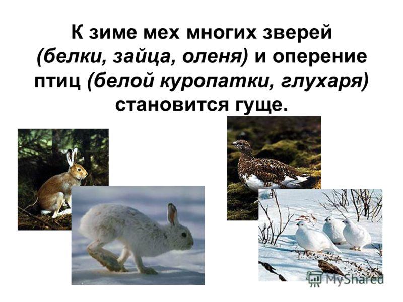 К зиме мех многих зверей (белки, зайца, оленя) и оперение птиц (белой куропатки, глухаря) становится гуще.