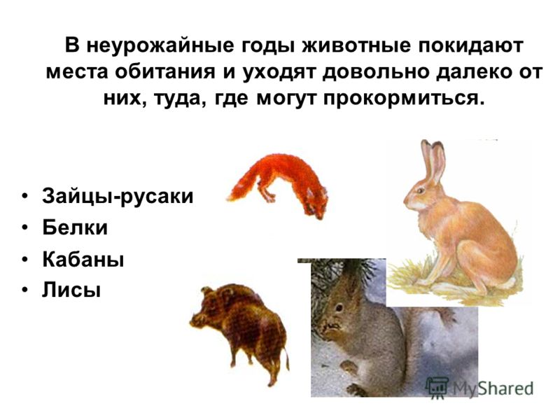 В неурожайные годы животные покидают места обитания и уходят довольно далеко от них, туда, где могут прокормиться. Зайцы-русаки Белки Кабаны Лисы