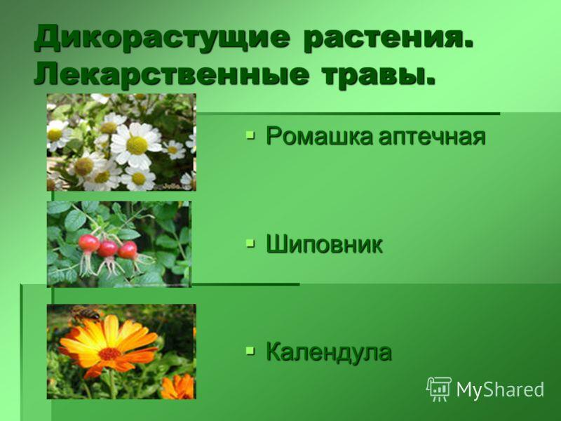 Дикорастущие растения. Лекарственные травы. Ромашка аптечная Ромашка аптечная Шиповник Шиповник Календула Календула