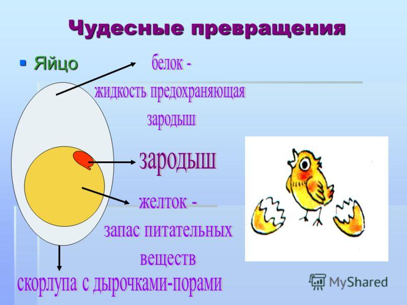 Чудесные превращения Яйцо Яйцо