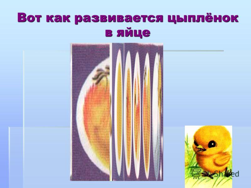 Вот как развивается цыплёнок в яйце