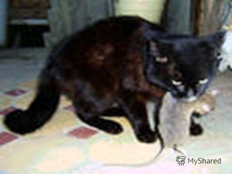 лучшая порода кошек которая ловит крыс