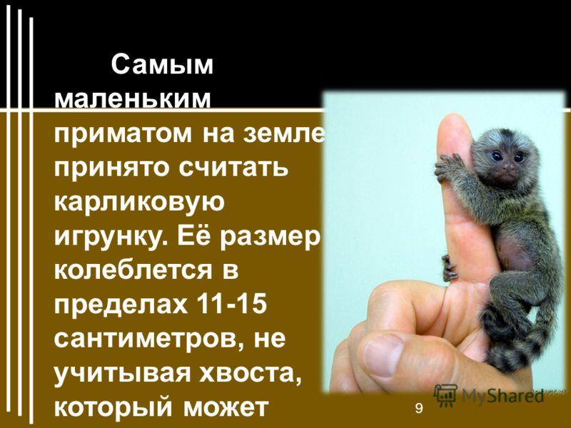 Самым маленьким приматом на земле принято считать карликовую игрунку. Её размер колеблется в пределах 11-15 сантиметров, не учитывая хвоста, который может достигать 22 сантиметров в длину. 9