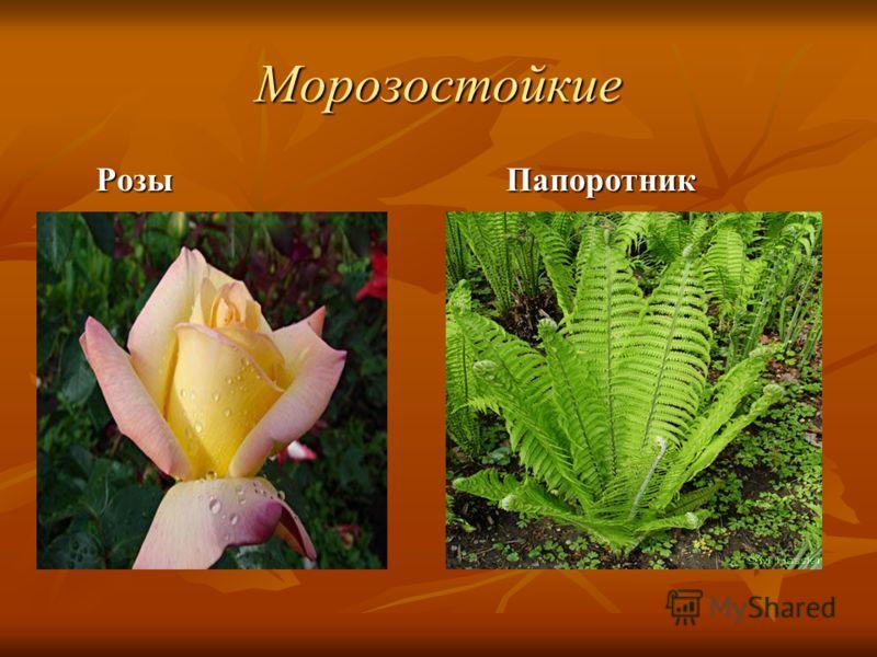 Морозостойкие Розы Розы Папоротник Папоротник