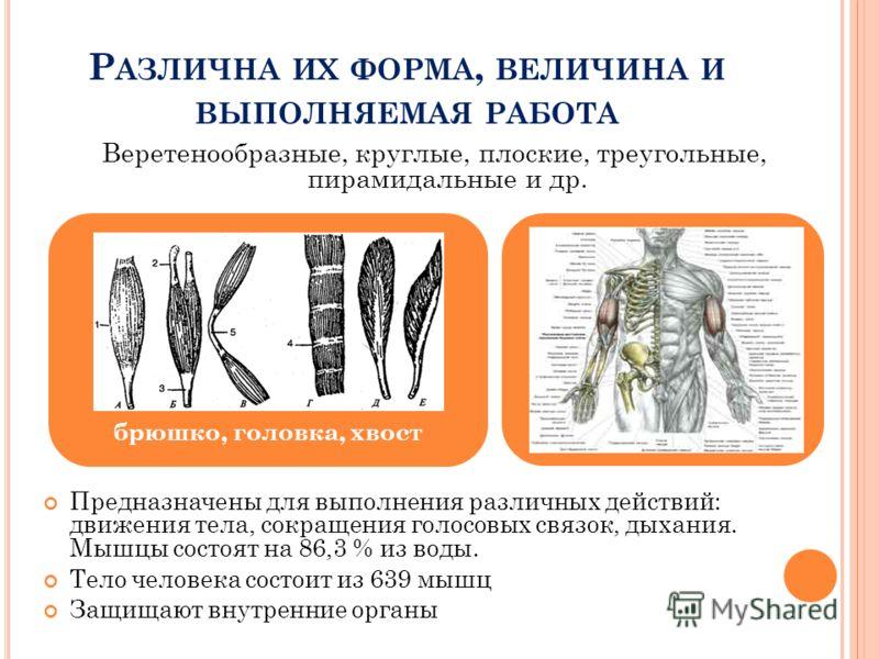 Р АЗЛИЧНА ИХ ФОРМА, ВЕЛИЧИНА И ВЫПОЛНЯЕМАЯ РАБОТА Предназначены для выполнения различных действий: движения тела, сокращения голосовых связок, дыхания. Мышцы состоят на 86,3 % из воды. Тело человека состоит из 639 мышц Защищают внутренние органы брюш