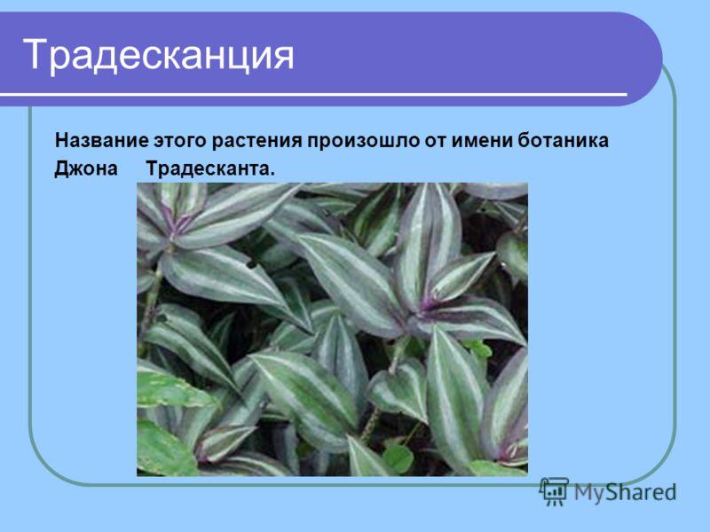 Традесканция Название этого растения произошло от имени ботаника Джона Традесканта.