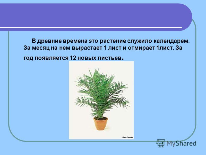 В древние времена это растение служило календарем. За месяц на нем вырастает 1 лист и отмирает 1лист. За год появляется 12 новых листьев.