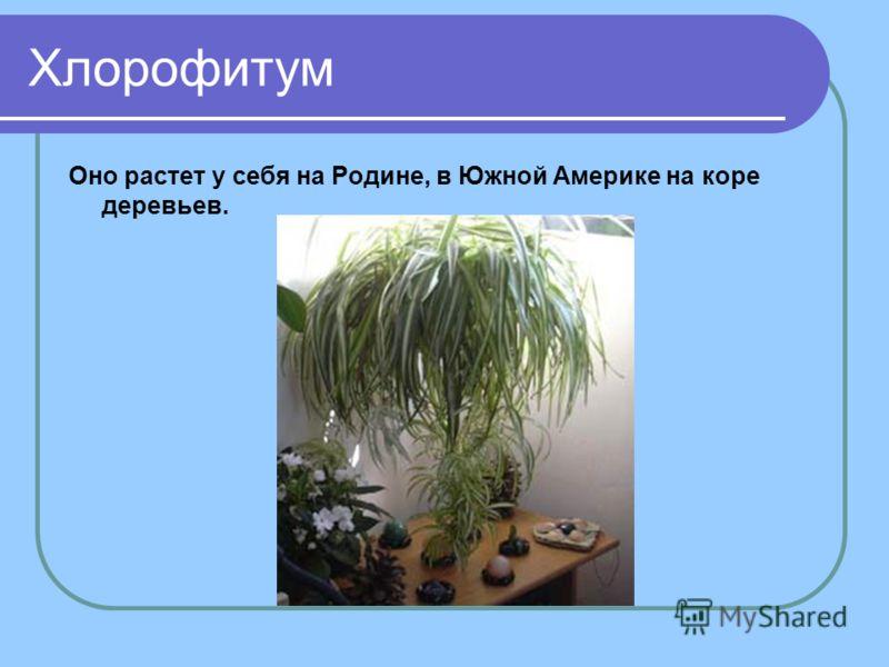 Хлорофитум Оно растет у себя на Родине, в Южной Америке на коре деревьев.