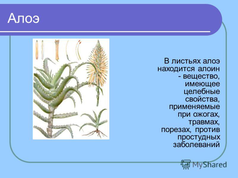 Алоэ В листьях алоэ находится алоин - вещество, имеющее целебные свойства, применяемые при ожогах, травмах, порезах, против простудных заболеваний