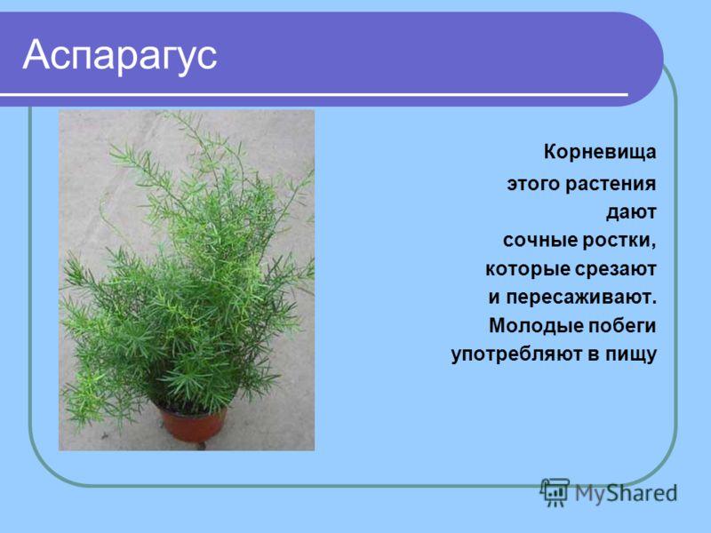 Аспарагус Корневища этого растения дают сочные ростки, которые срезают и пересаживают. Молодые побеги употребляют в пищу