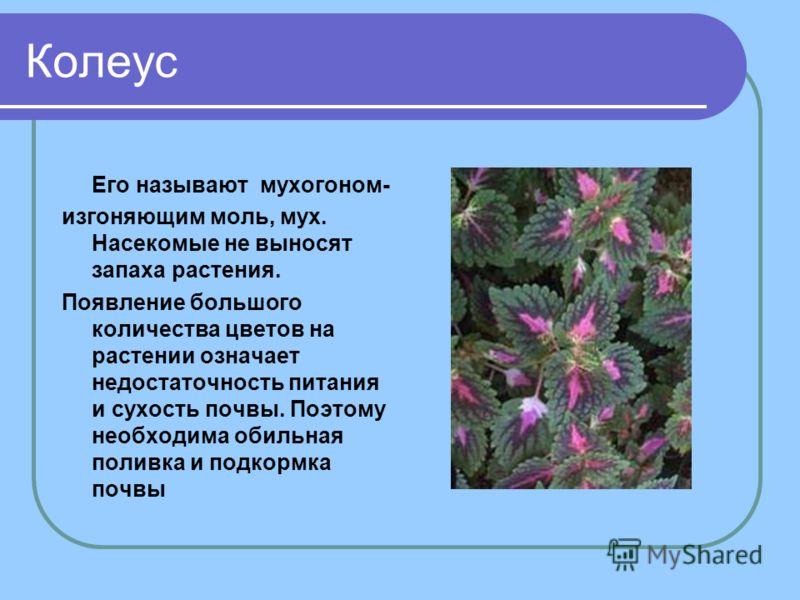 Колеус Его называют мухогоном- изгоняющим моль, мух. Насекомые не выносят запаха растения. Появление большого количества цветов на растении означает недостаточность питания и сухость почвы. Поэтому необходима обильная поливка и подкормка почвы