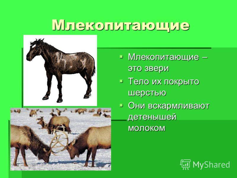 Млекопитающие Млекопитающие – это звери Млекопитающие – это звери Тело их покрыто шерстью Тело их покрыто шерстью Они вскармливают детенышей молоком Они вскармливают детенышей молоком