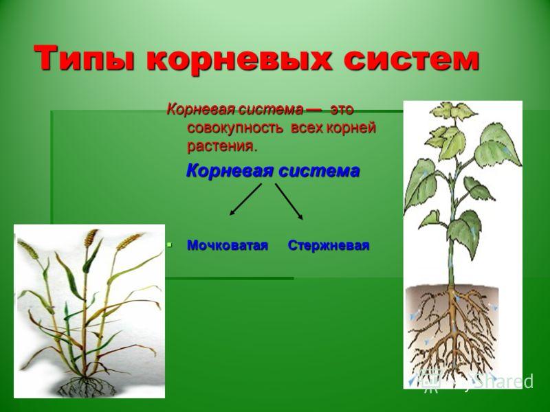 Типы корневых систем Корневая система э э э это совокупность всех корней растения. Корневая система Мочковатая Стержневая