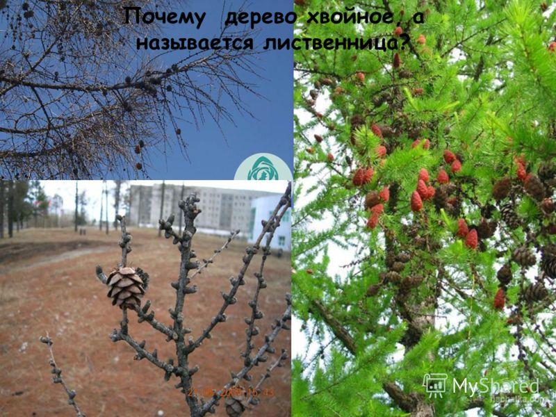 Какие деревья вы знаете? осинаивадуб кедрлиственница сосна Лиственные деревья Хвойные деревья