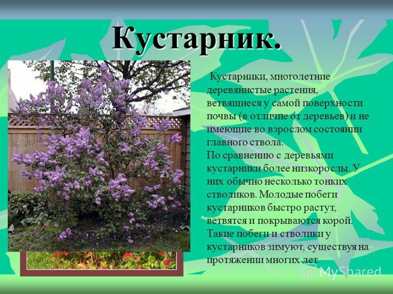 Рассмотрите картинки и подумайте, что здесь лишнее Как все эти растения можно назвать одним словом? Кустарники