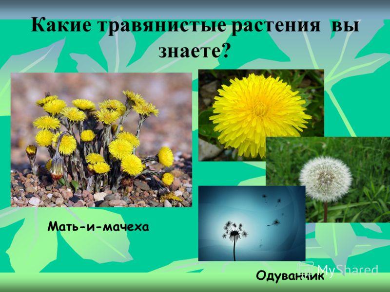 Травянистые растения. Имеют зелёные сочные стебли; они почти всегда ниже деревьев и кустарников. Также к травянистым растениям относятся: колокольчики, васильки, крапива, лопух, пшеница, рожь, подсолнечник…