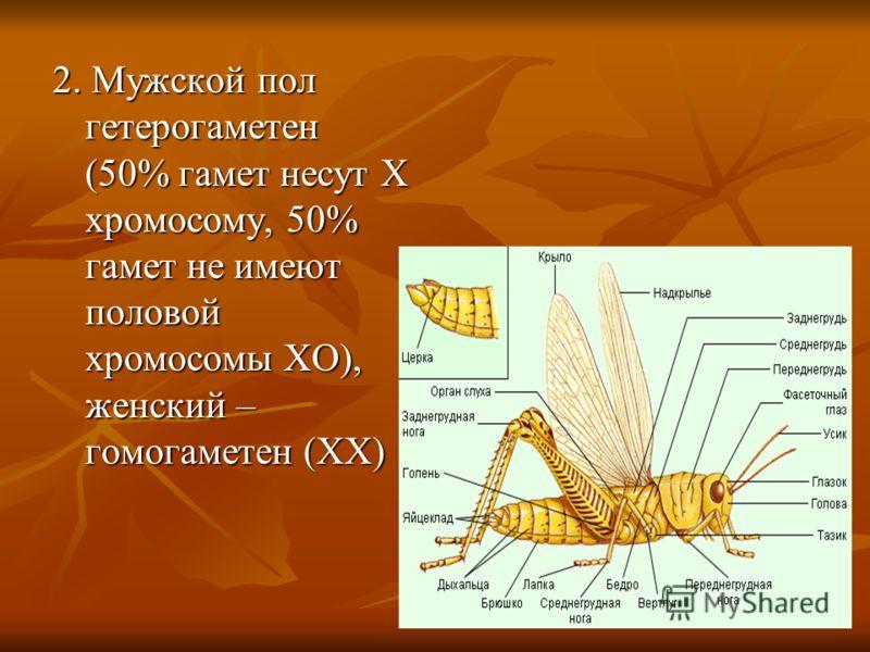 2. Мужской пол гетерогаметен (50% гамет несут Х хромосому, 50% гамет не имеют половой хромосомы ХО), женский – гомогаметен (ХХ)