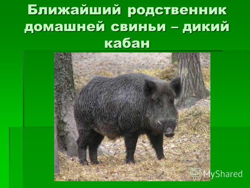 Ближайший родственник домашней свиньи – дикий кабан