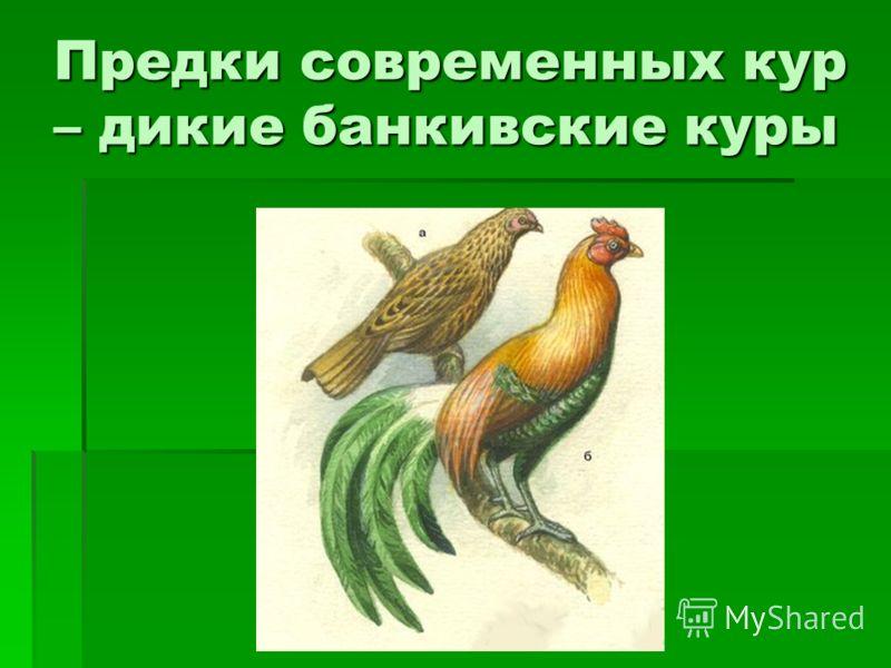 Предки современных кур – дикие банкивские куры