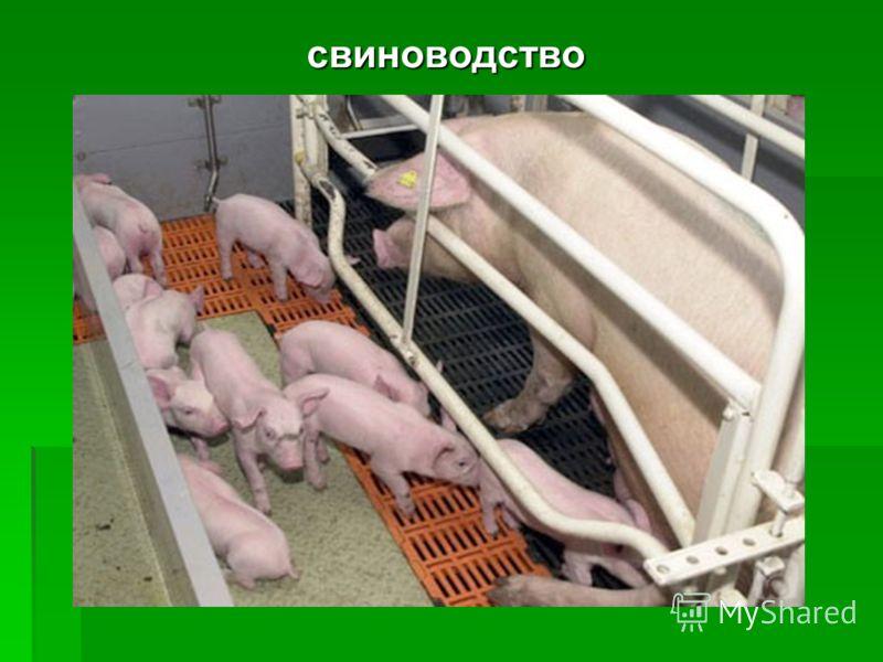 Выращивание свиней домашний бизнес 227