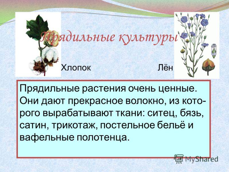 Прядильные культуры Прядильные растения очень ценные. Они дают прекрасное волокно, из кото- рого вырабатывают ткани: ситец, бязь, сатин, трикотаж, постельное бельё и вафельные полотенца. ХлопокЛён