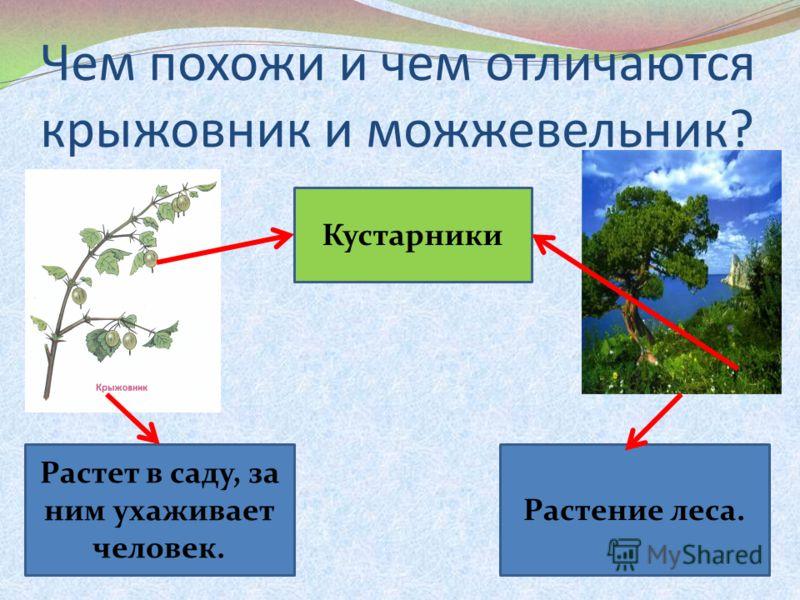 Чем похожи и чем отличаются крыжовник и можжевельник? Кустарники Растет в саду, за ним ухаживает человек. Растение леса.