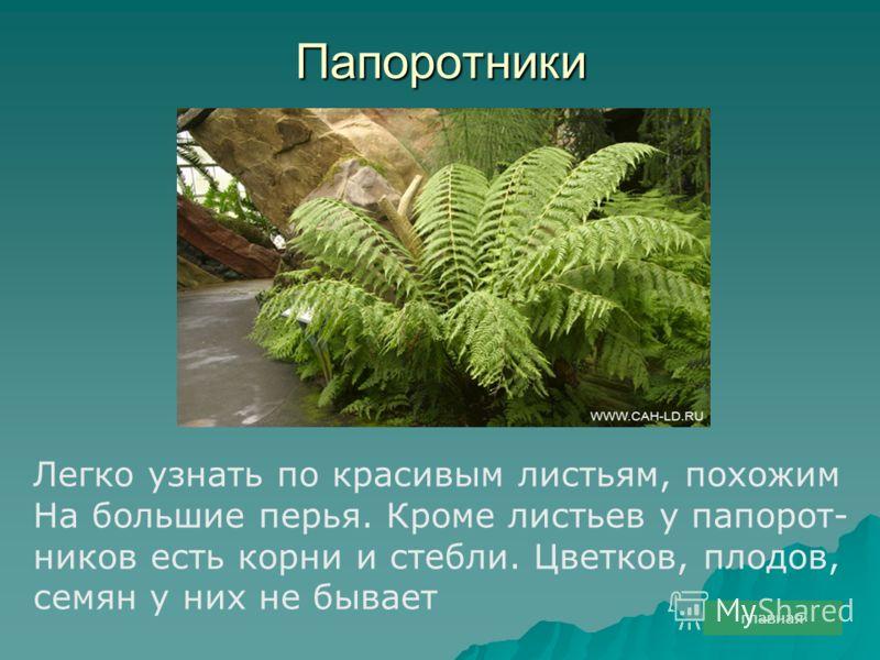 Папоротники Легко узнать по красивым листьям, похожим На большие перья. Кроме листьев у папорот- ников есть корни и стебли. Цветков, плодов, семян у них не бывает главная