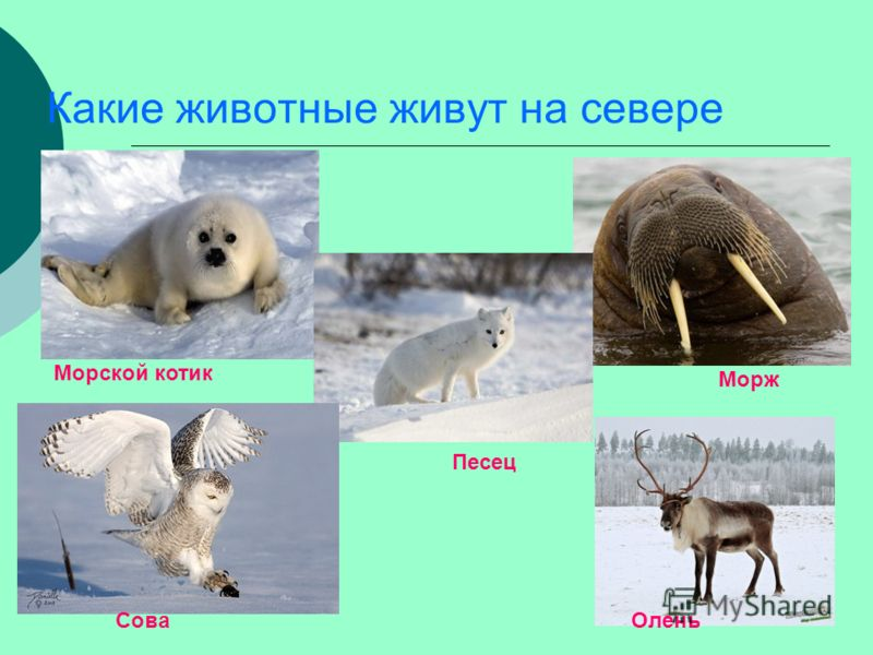 животных на севере живущие фото