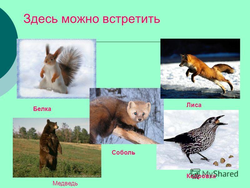 Здесь можно встретить Белка Лиса Кедровка Соболь Медведь