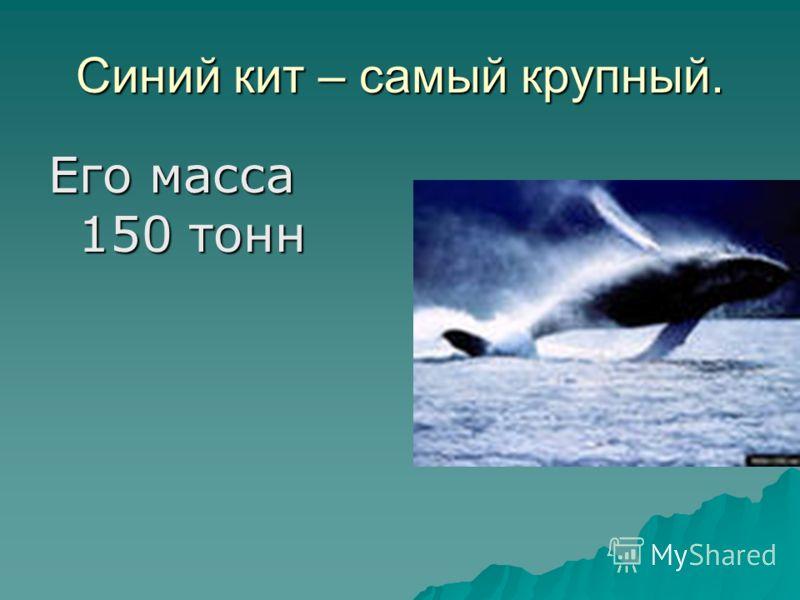 Синий кит – самый крупный. Его масса 150 тонн