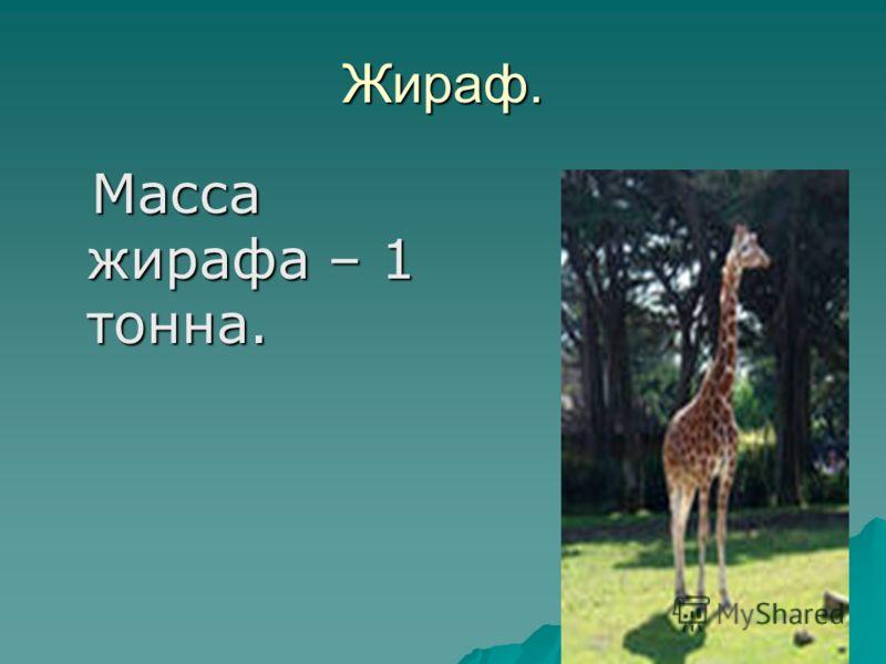 Жираф. Масса жирафа – 1 тонна. Масса жирафа – 1 тонна.