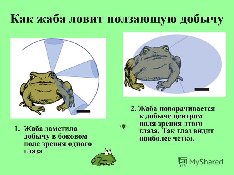 Как жаба ловит ползающую добычу 1.Жаба заметила добычу в боковом поле зрения одного глаза 2. Жаба поворачивается к добыче центром поля зрения этого глаза. Так глаз видит наиболее четко.