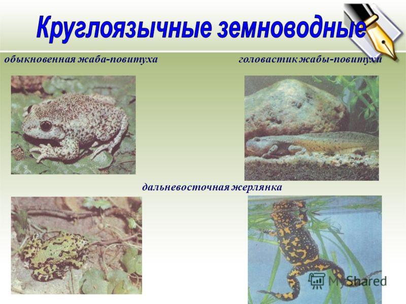 обыкновенная жаба-повитухаголовастик жабы-повитухи дальневосточная жерлянка