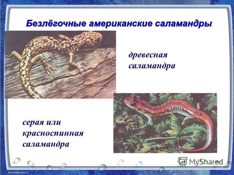 древесная саламандра серая или красноспинная саламандра